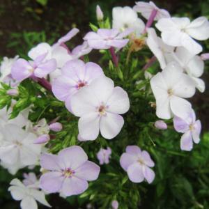 アラベラ 2番花と自然交配フロックス♪
