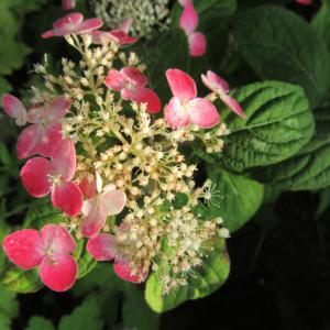 ヤマアジサイ 紅(クレナイ)と白花ホタルブクロ