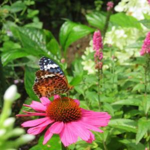 エキナセアに蝶が。。。挿し木のアナベル