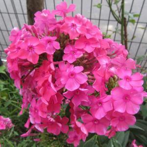パニキュラータ系フロックスと自然交配種