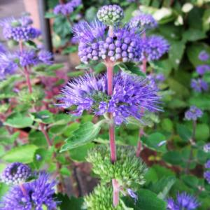 ブルーのダンギク(段菊)
