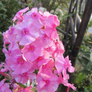 フロックス。。。今年のニューフェイスは真ん丸い花♪