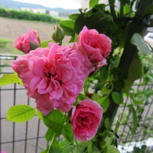 バッサリ切ったピンクスワニーに可愛い花が咲きました。