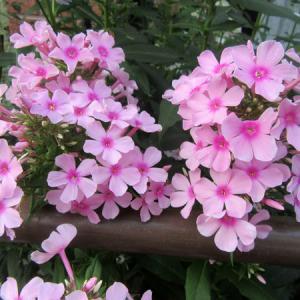 フロックスの毀れ種コーナーより愛らしいピンクの花。