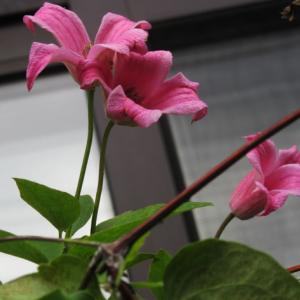 ダッチェス・オブ・アルバニー2番花とローズマリー