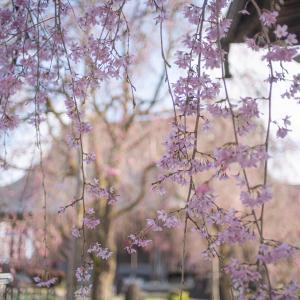 梅と桜の八尾:フレクトゴンとぶら散歩