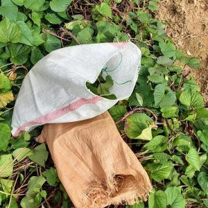 本日のサツマイモの茎収穫量