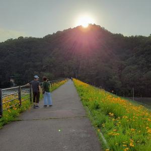 オオキンケイギク(金鶏菊 )は 日本では駆除対象