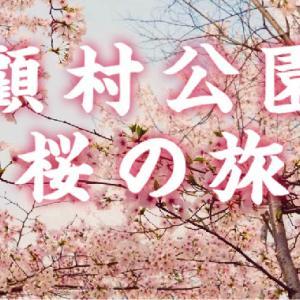 【春が来た!】上海顧村公園の桜が見頃だってよ!