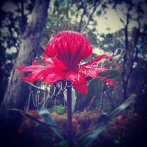 フラワーエッセンスの意味を体感!オーストラリアで見たブッシュフラワーエッセンスのワラタの花