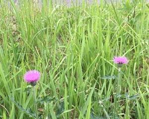 大好きなアザミが、愛野の小野田周辺に咲いていました。