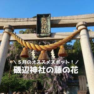 【磯部神社の藤の花】氷見市の絶景スポット!圧巻のヤマフジは奇数年の5月に見ておきたい!