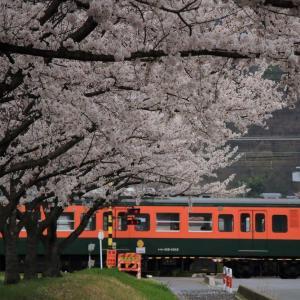 満開の桜としなの鉄道115系