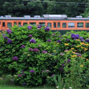 しなの鉄道、115系とアジサイの花