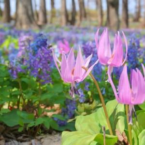 カタクリとエゾエンゴサクの天然花畑へ