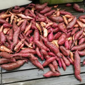 一畝分のサツマイモを一気に収穫したw