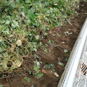 エンドウ畝の確保と落花生の収穫です。