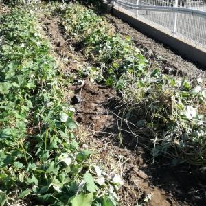 今日は玉ねぎ畑の確保の為にサツマイモ掘りでしたw