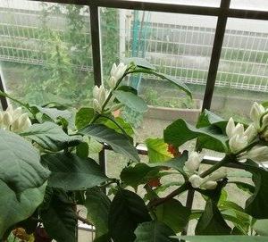 7月に咲いたコーヒーの花、実が大きくなってきた♪