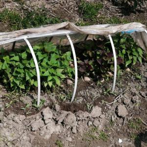 サツマイモの苗植えとそら豆の先落としです。