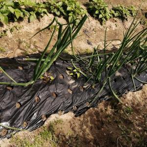 ニンニクの摘芯とサツマイモの苗追加です。