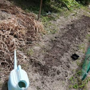 落花生の種まきとソラマメの収穫、殆ど最後ですw