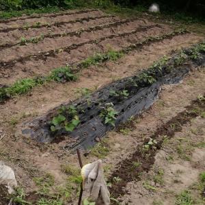 ジャンボニンニクと枇杷を収穫してみた♪
