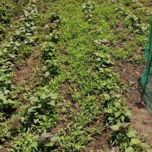 今日は1週間ほど続いた雨の後の様子見、久々の畑です。
