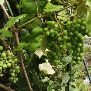 イチジクも葡萄も順調です♪