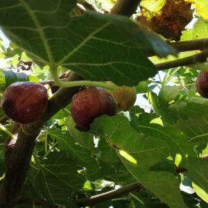 今日も暑い中イチジクの収穫です(^^;