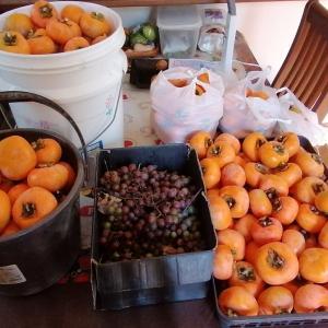 柿の大量収穫です♪
