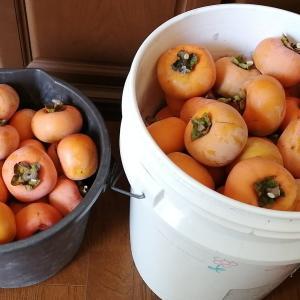 渋柿最後の収穫ですw