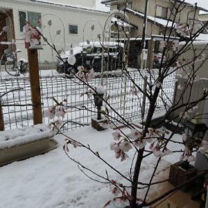 マイガーデン五分咲き桜と牡丹雪