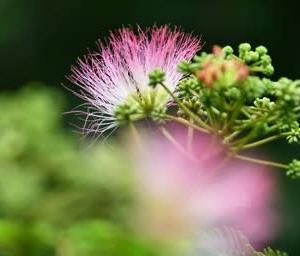 合歓の木の花〜夢のような花