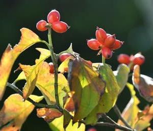花水木の紅葉と果実