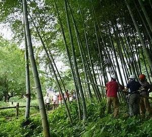 伐られたる竹やしづかに倒れゆく京極杞陽