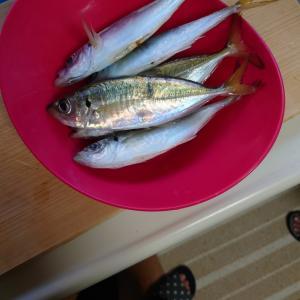 最近はアジ釣りへ行ってます。