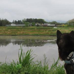 白柴タバサちゃんの新緑の近戸神社参拝記