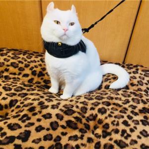 白猫の耳と顎のお手入れ(∩´∀`∩)