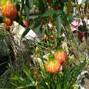 台湾の花たち 金鈴花 燈籠花