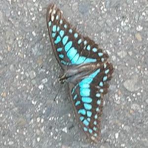 蝶の王国 台湾  青い蝶
