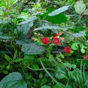 山歩きで見たベル型の花
