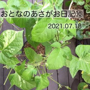 オトナのあさがお日記⑩花は咲くのか・・・