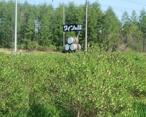 これはハスカップ畑、お隣りさんの敷地です