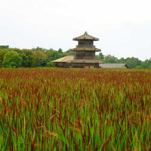 鞠智城の赤米