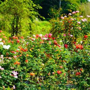 大室さんの薔薇園