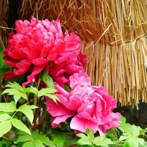祐徳稲荷神社日本庭園の冬ぼたん