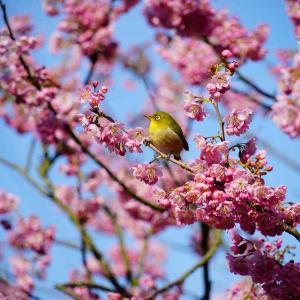 普光寺の桜ジロー