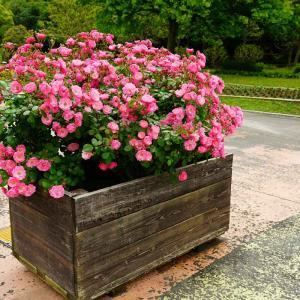 速報…響灘緑地グリーンパークと北九州市立総合農事センターの薔薇