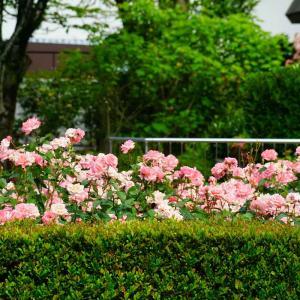 石橋文化センターで今春最後の薔薇撮影